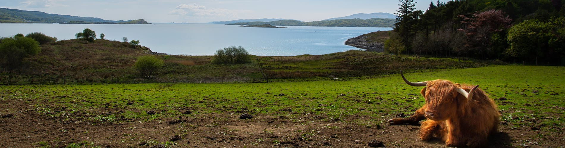 View and Highland Cow at Loch Melfort Hotel